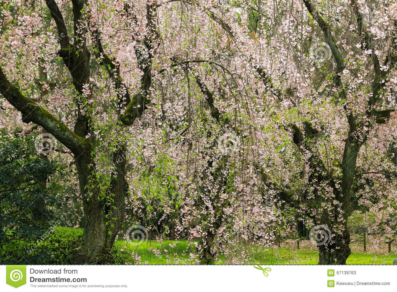 Weeping Japanese Sakura Cherry Blossom Trees With Pink Flowers I