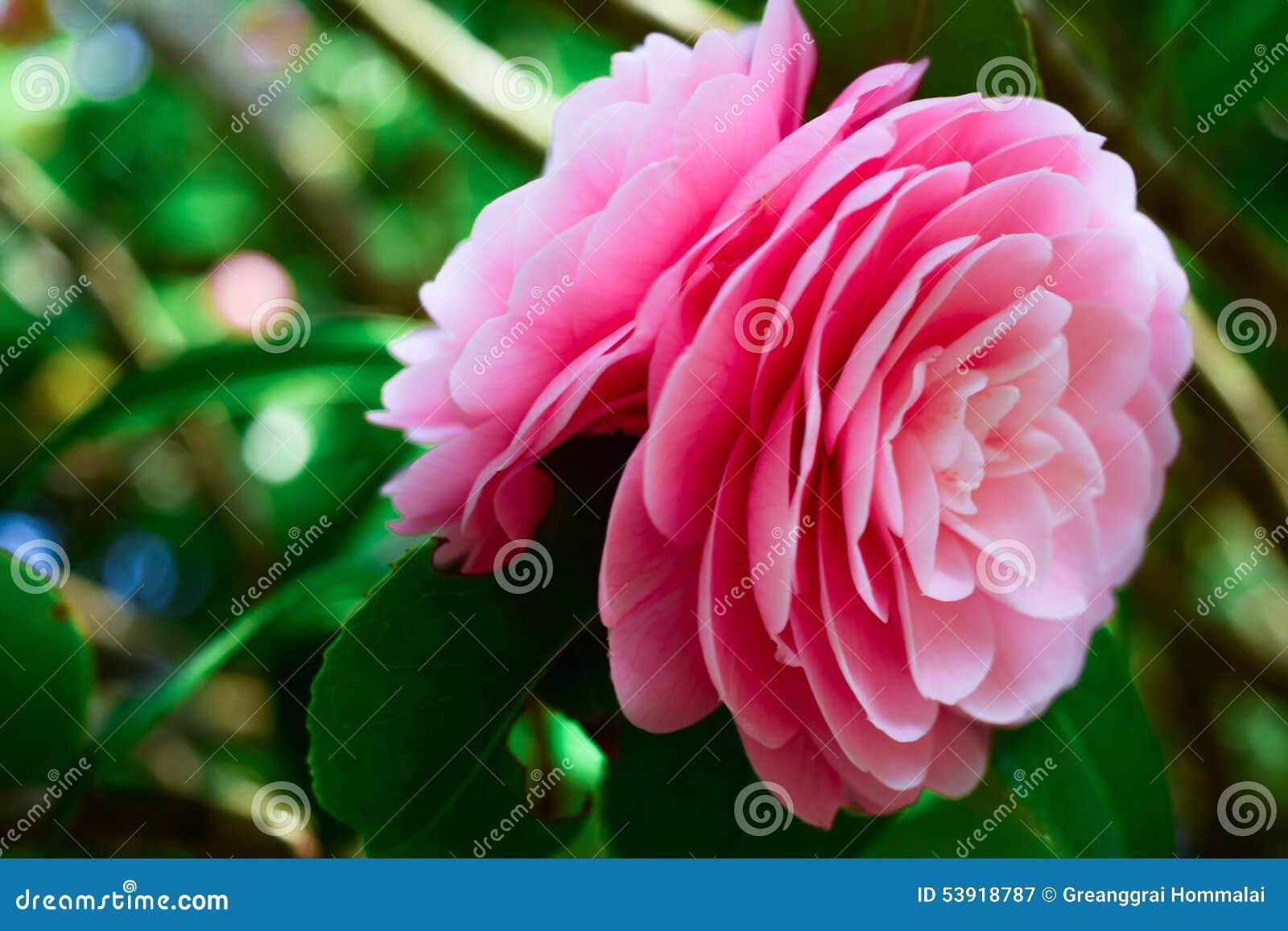 Weeping pink rose tree