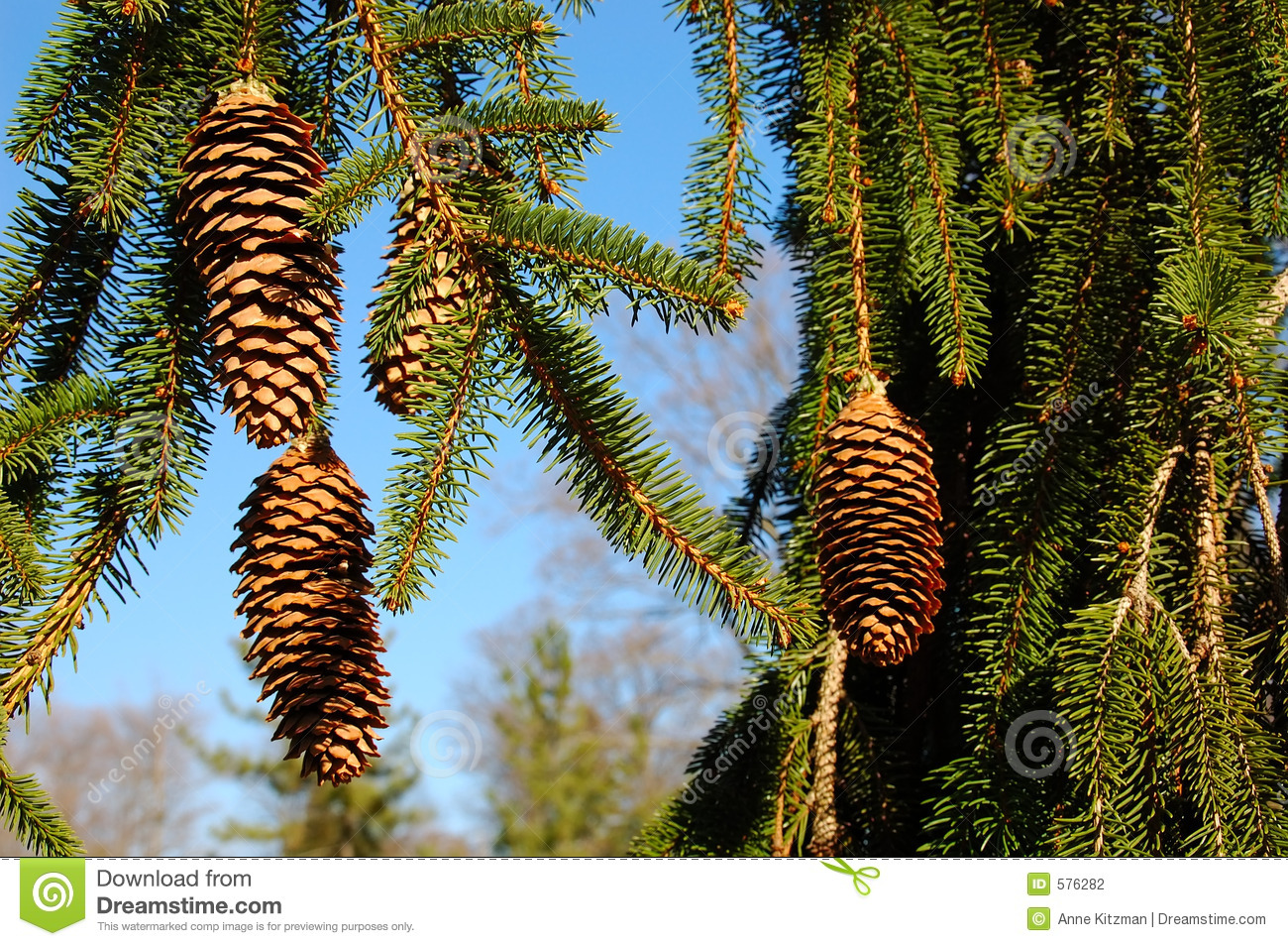 Weeping White Pine Tree Stock Photo Image Of Droop Cone 576282