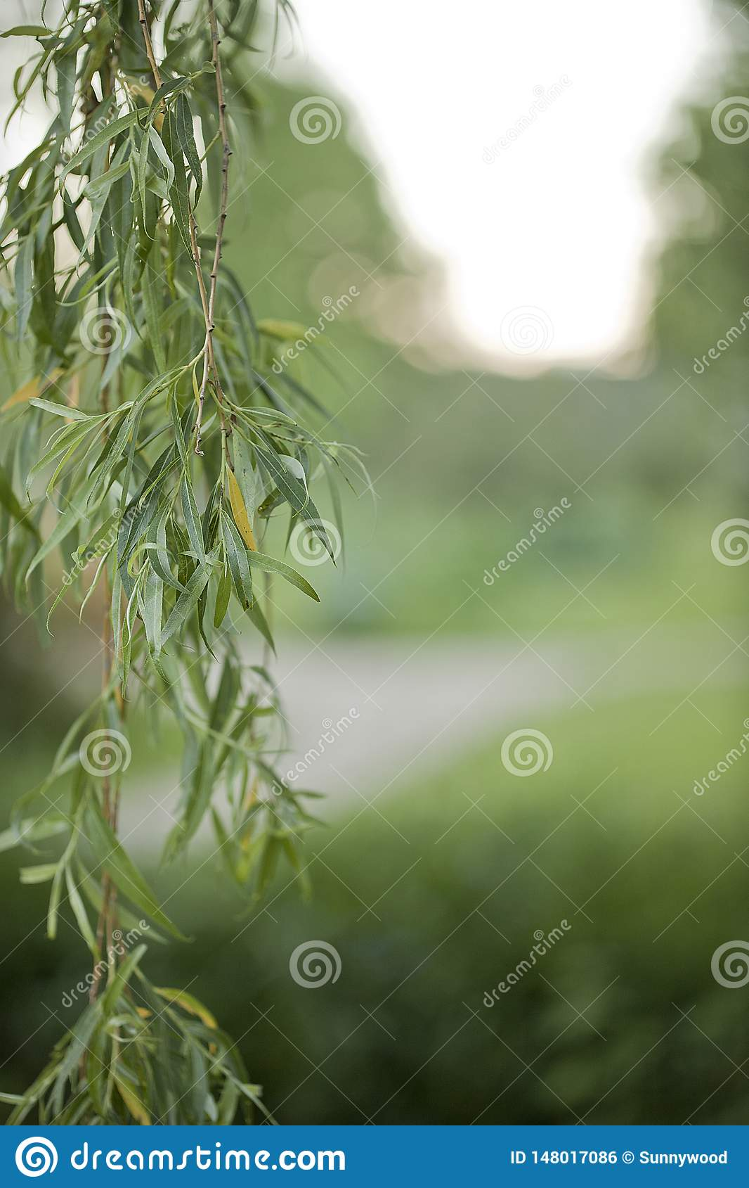 Weeping willow branch with leaves on a blurry background