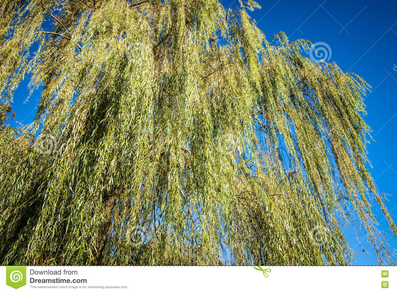 Weeping willow foliage