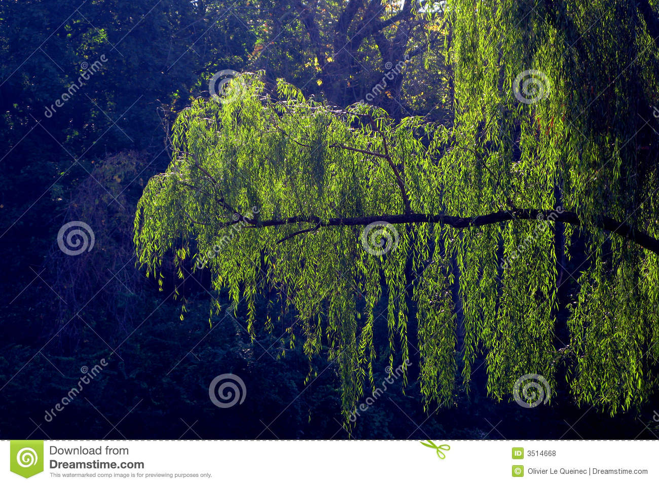 Weeping Willow Hanging Branch