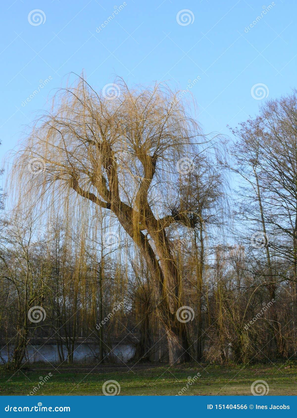 Weeping willow at a lake
