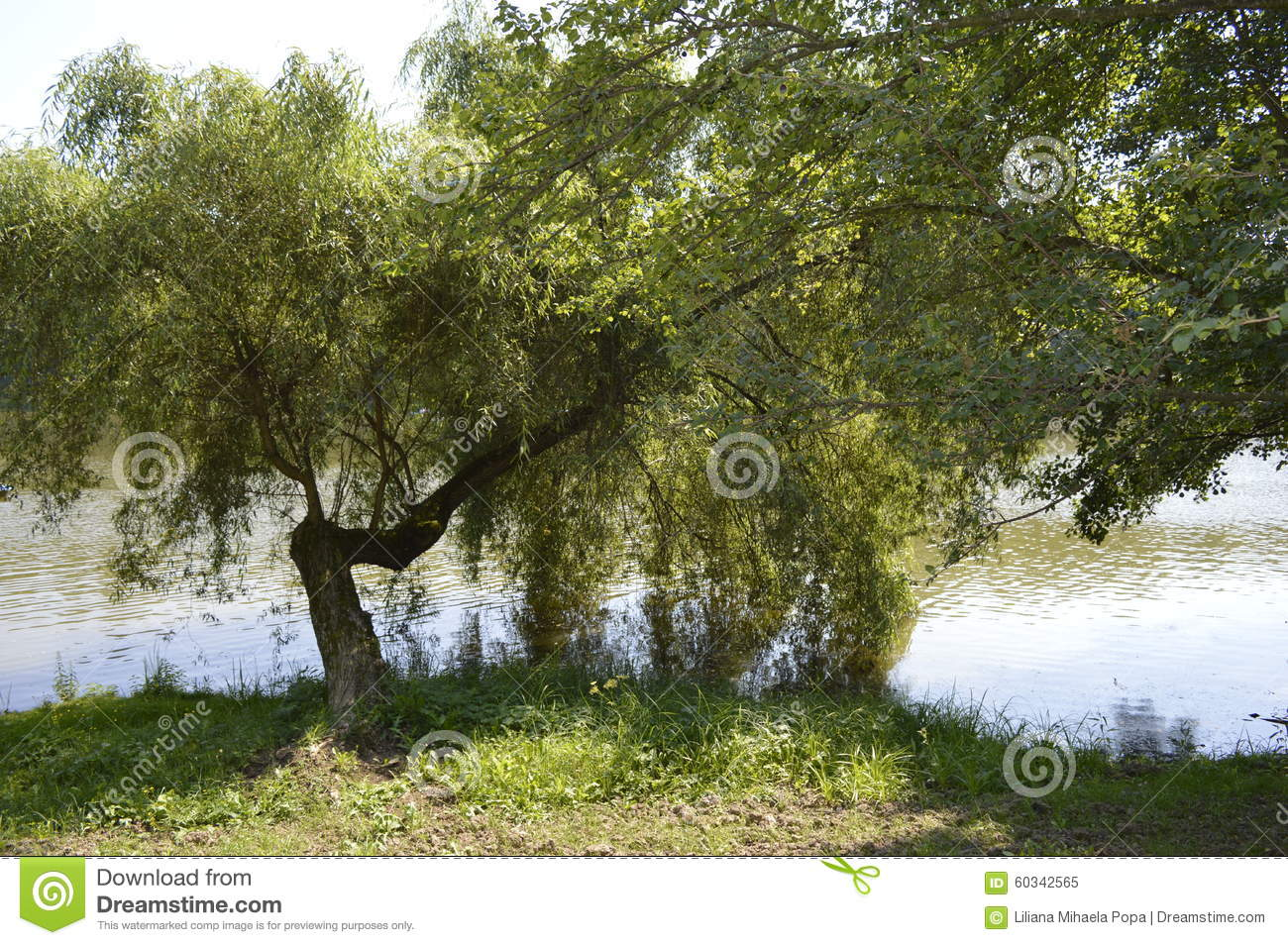 weeping willow on a lake.