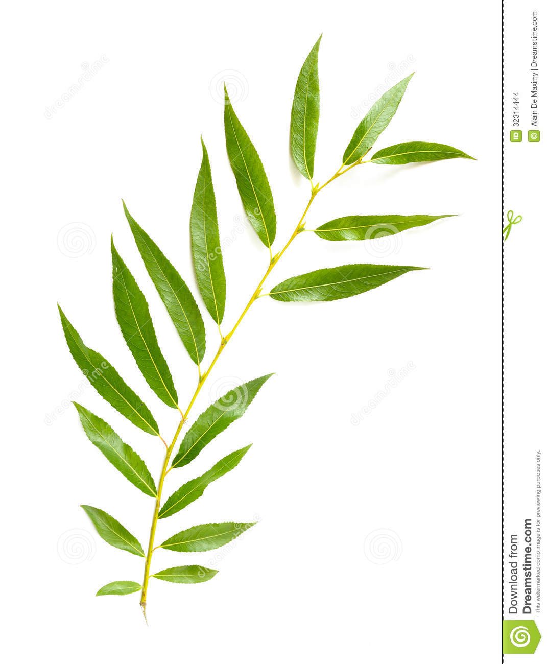 tender green Weeping Willow leaf on white background.
