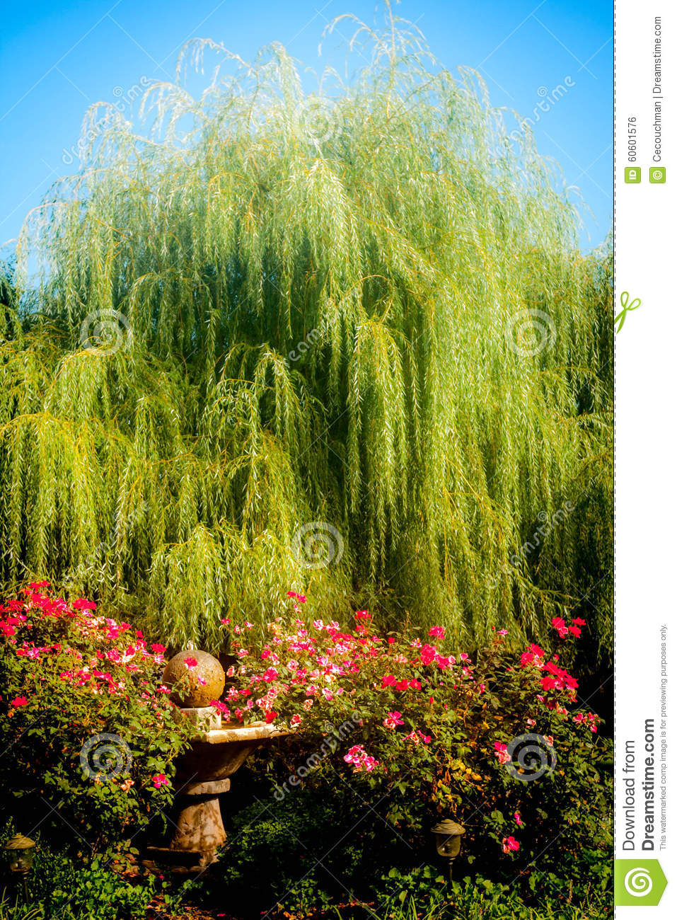 Weeping willow and roses stock photo image of morning 60601576 weeping willow and roses mightylinksfo