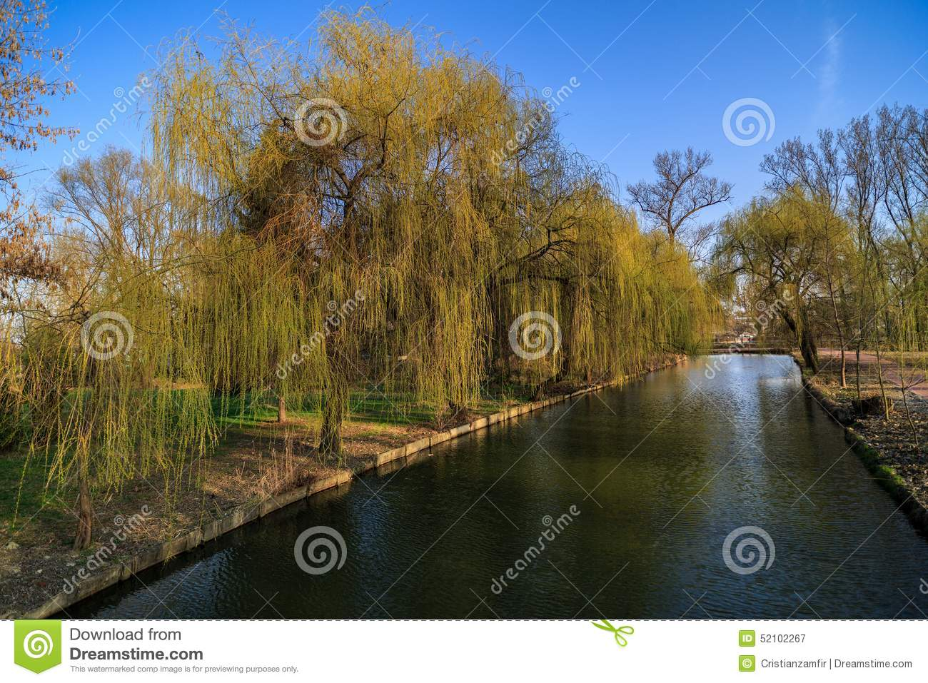 Weeping willow on the shore of a lake