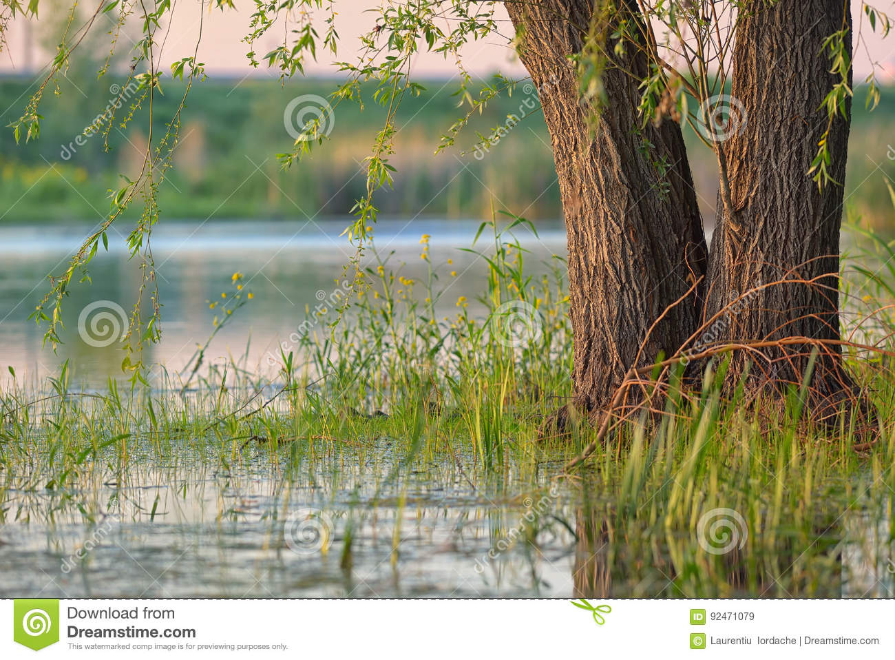 Weeping willow in a swamp