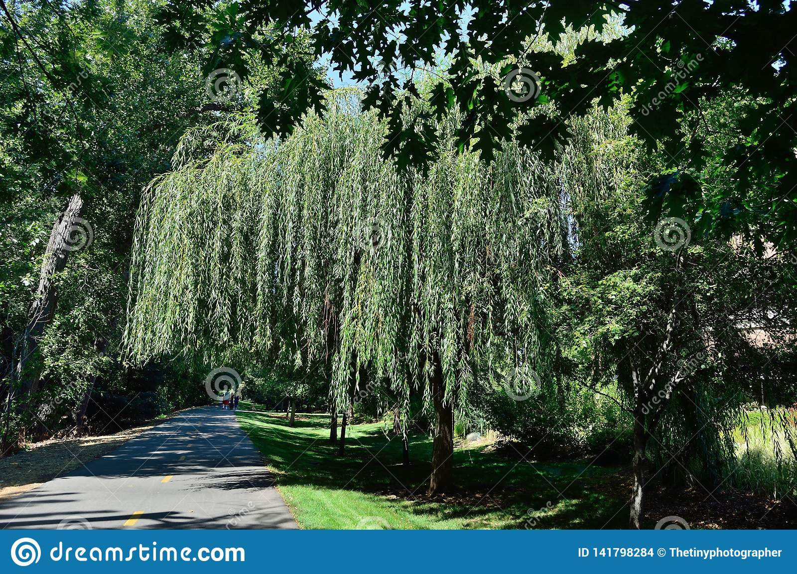 Weeping willow tree on the Greenbelt, Boise Idaho