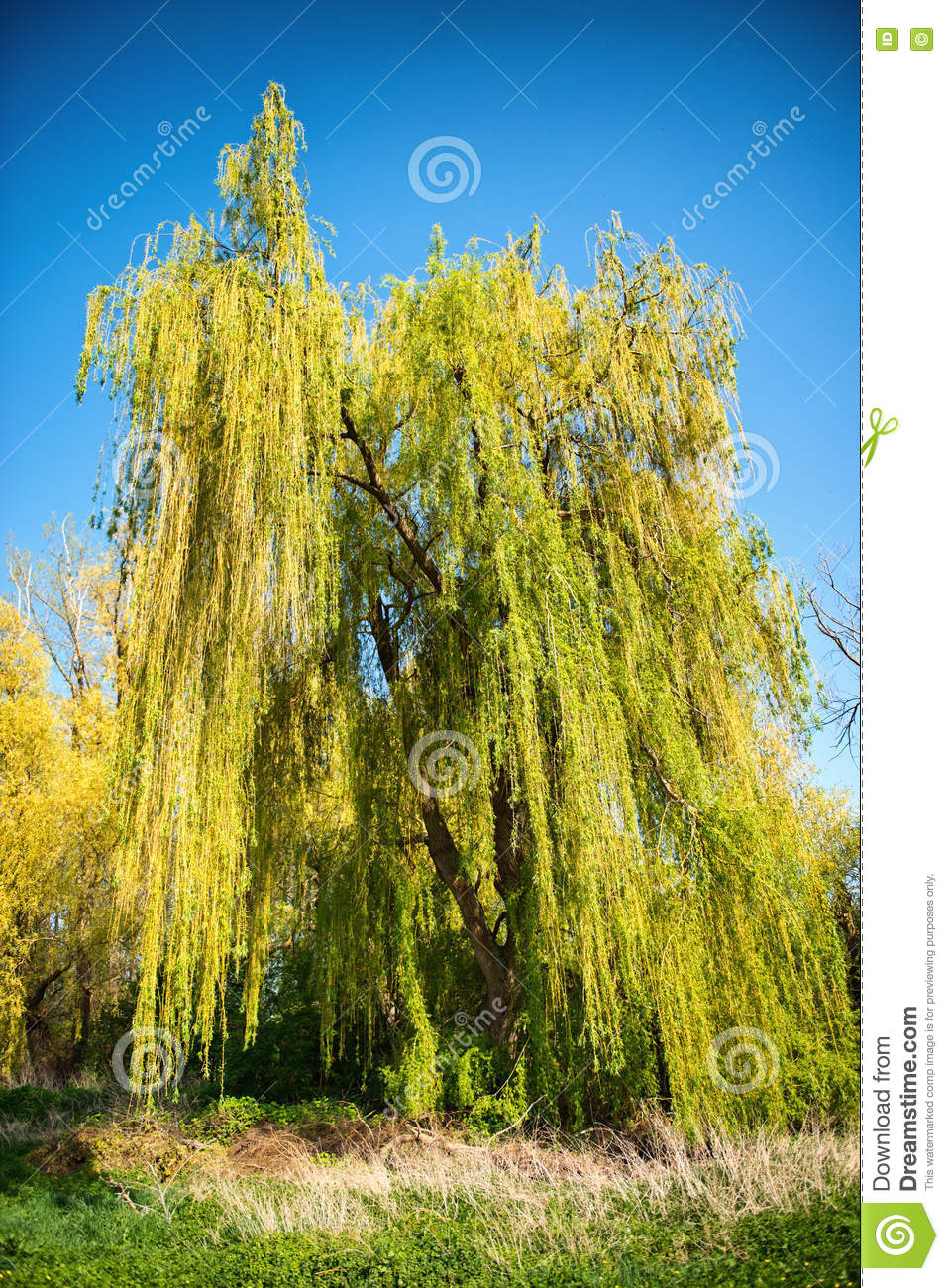Weeping willow tree with spring foliage