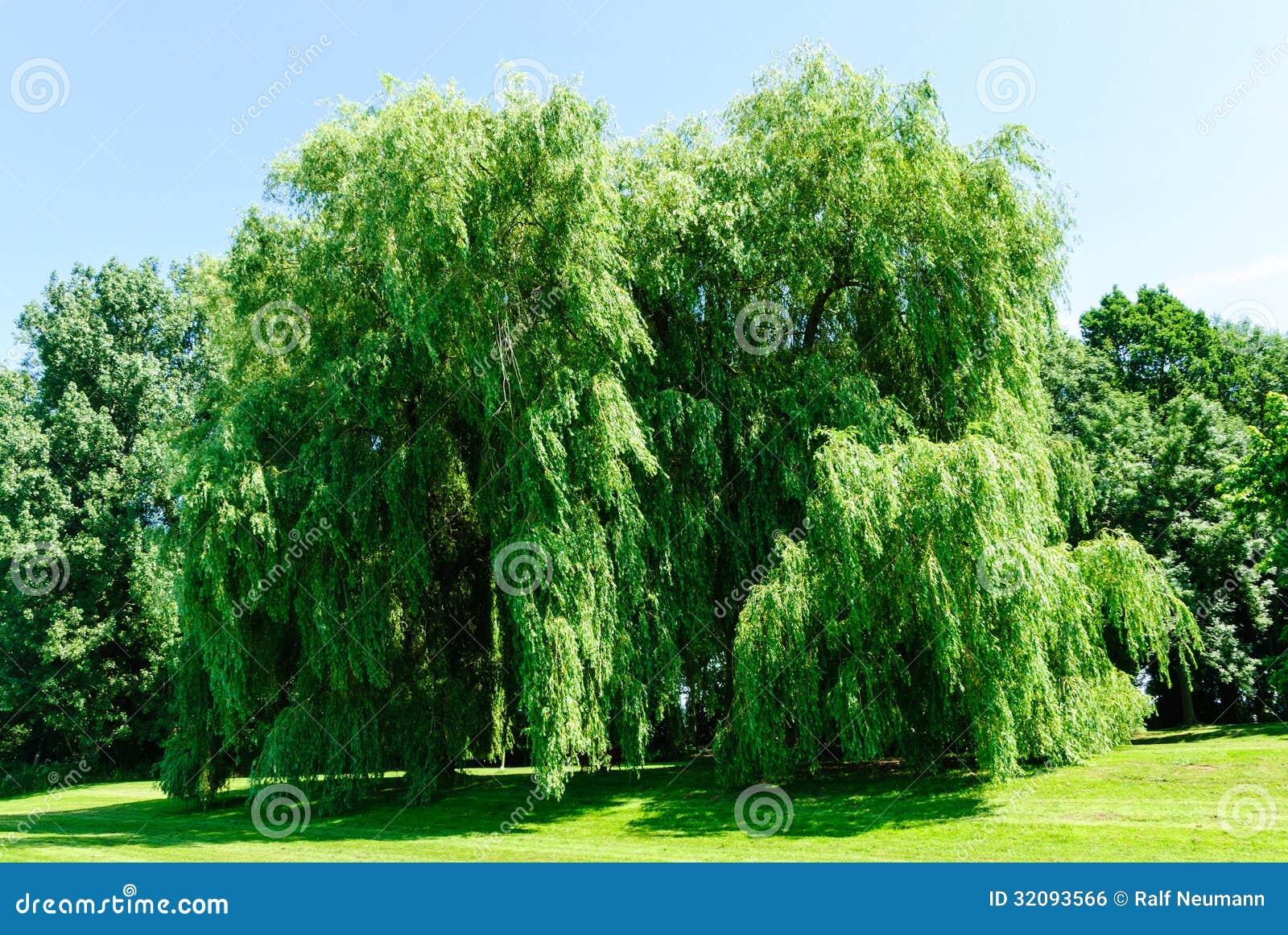 weeping willows salix alba tristis royalty free stock image image 32093566. Black Bedroom Furniture Sets. Home Design Ideas