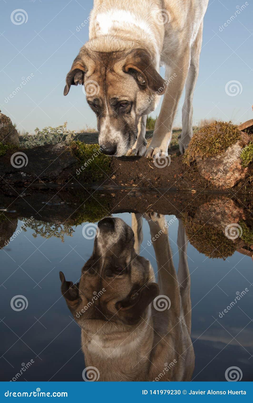 Weerspiegeld portret van herdershond, Mastin-ras