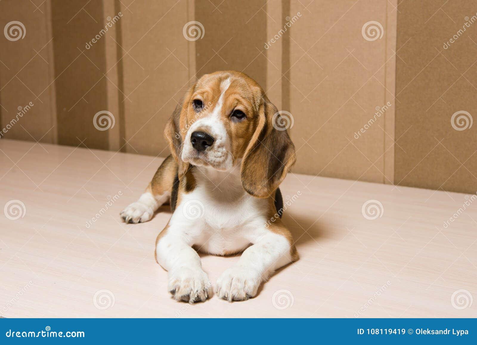 Weerspiegelende leuke hond met afluisteraar binnen