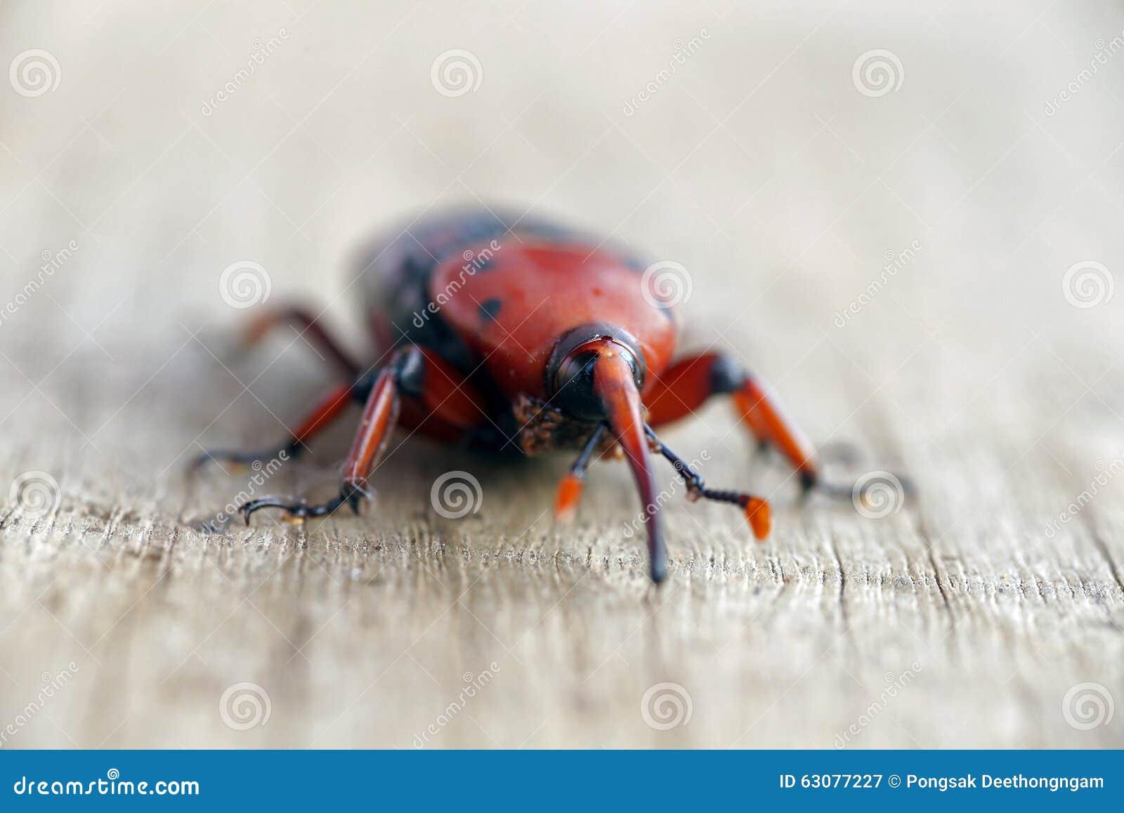 Download Weevi rouge de paume image stock. Image du jeune, people - 63077227