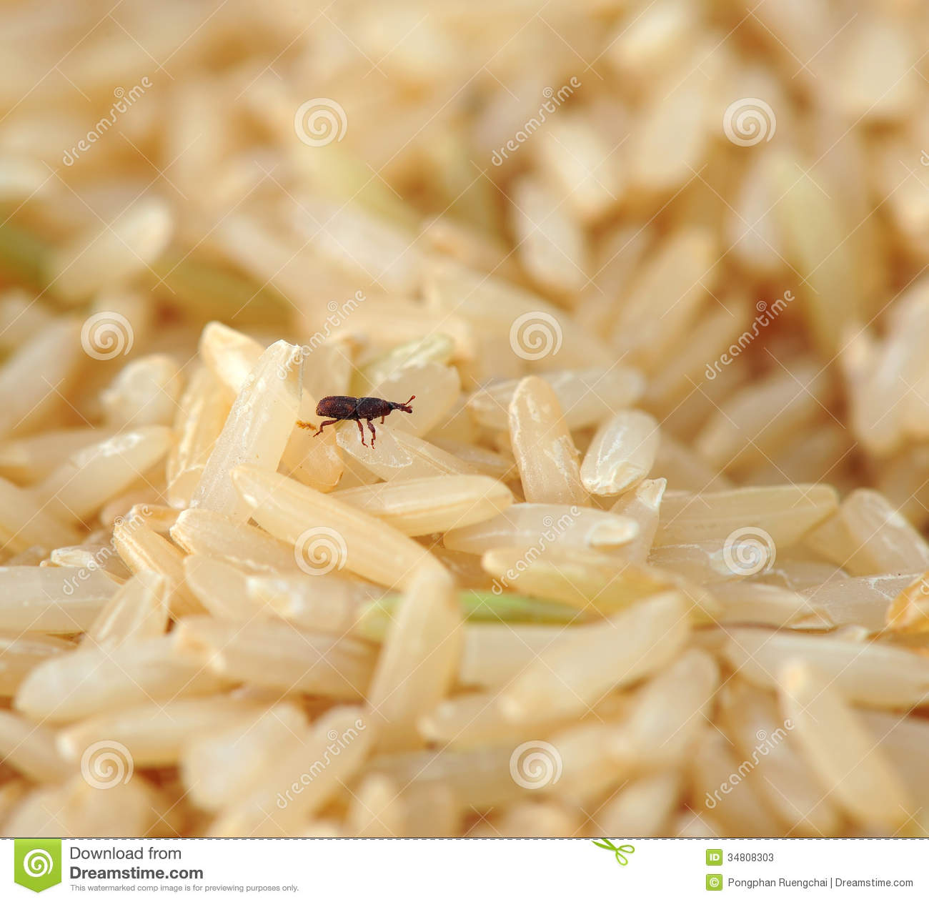 Rice Insects Weevil in rice stock photos - image: 34808303