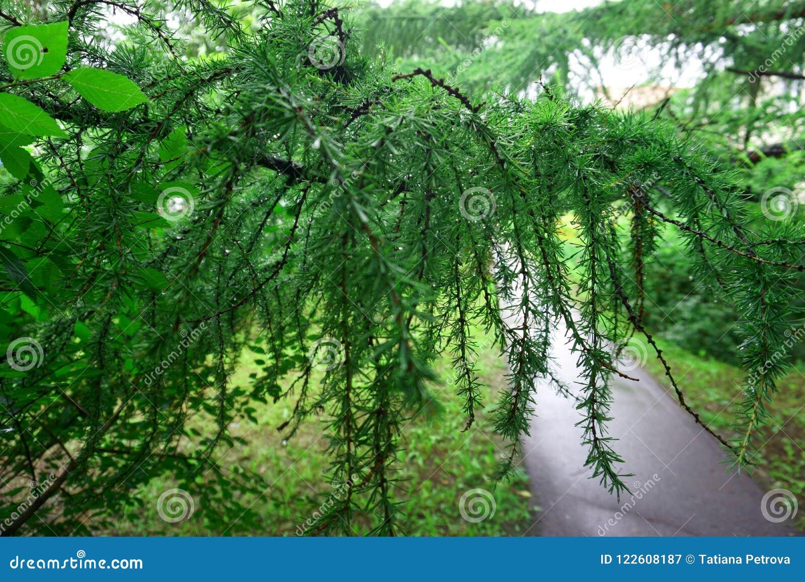 Weg in park Europese Lariks Larix decidua met regendruppels
