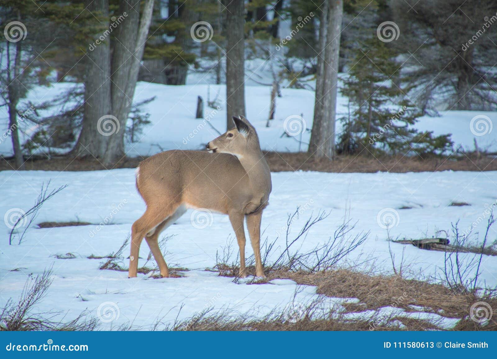 Weiß band Rotwild auf Wiese im Winter mit dem Schnee an und hinten schaute