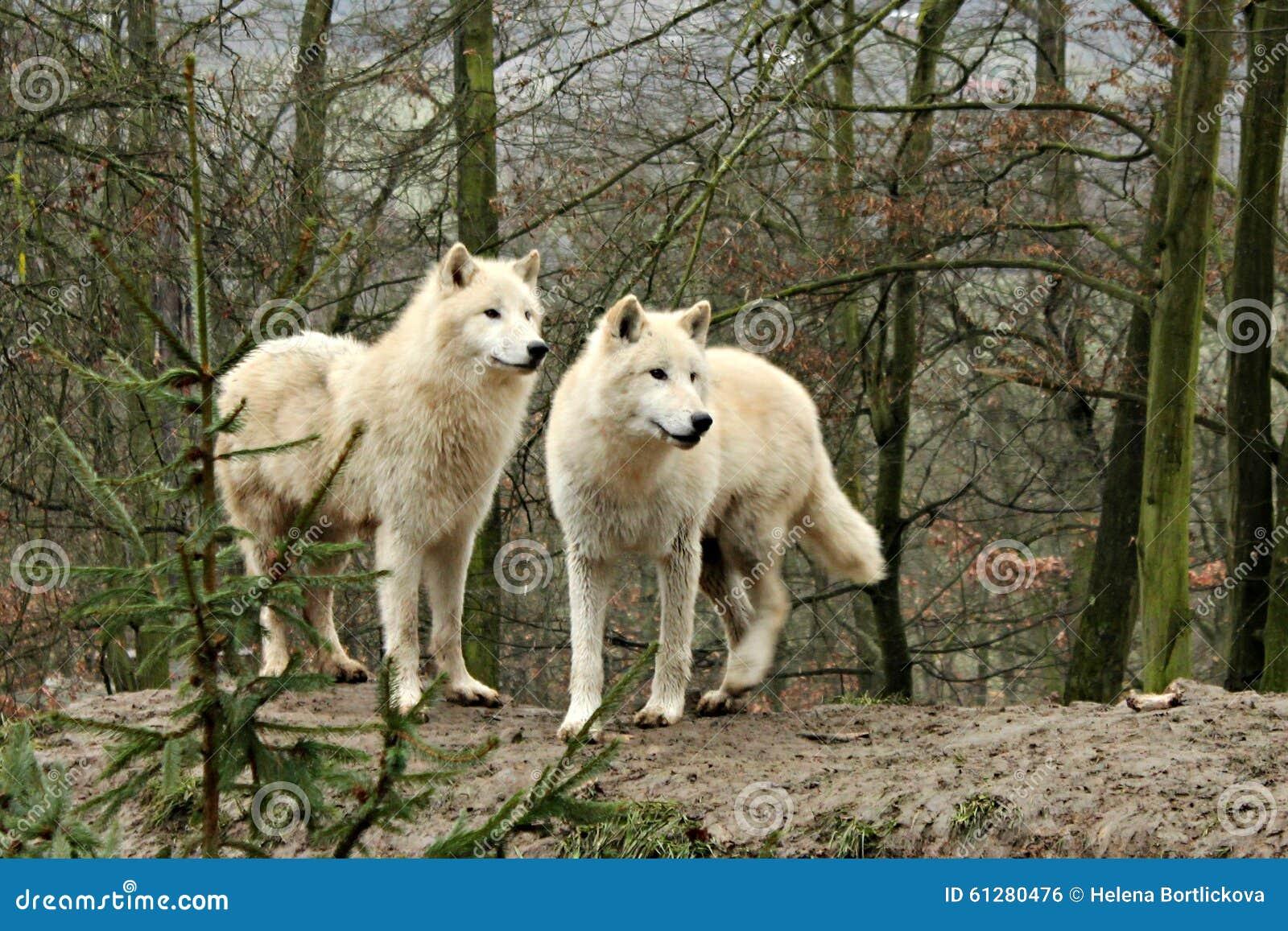 Weiß schlingt in einem Wald hinunter