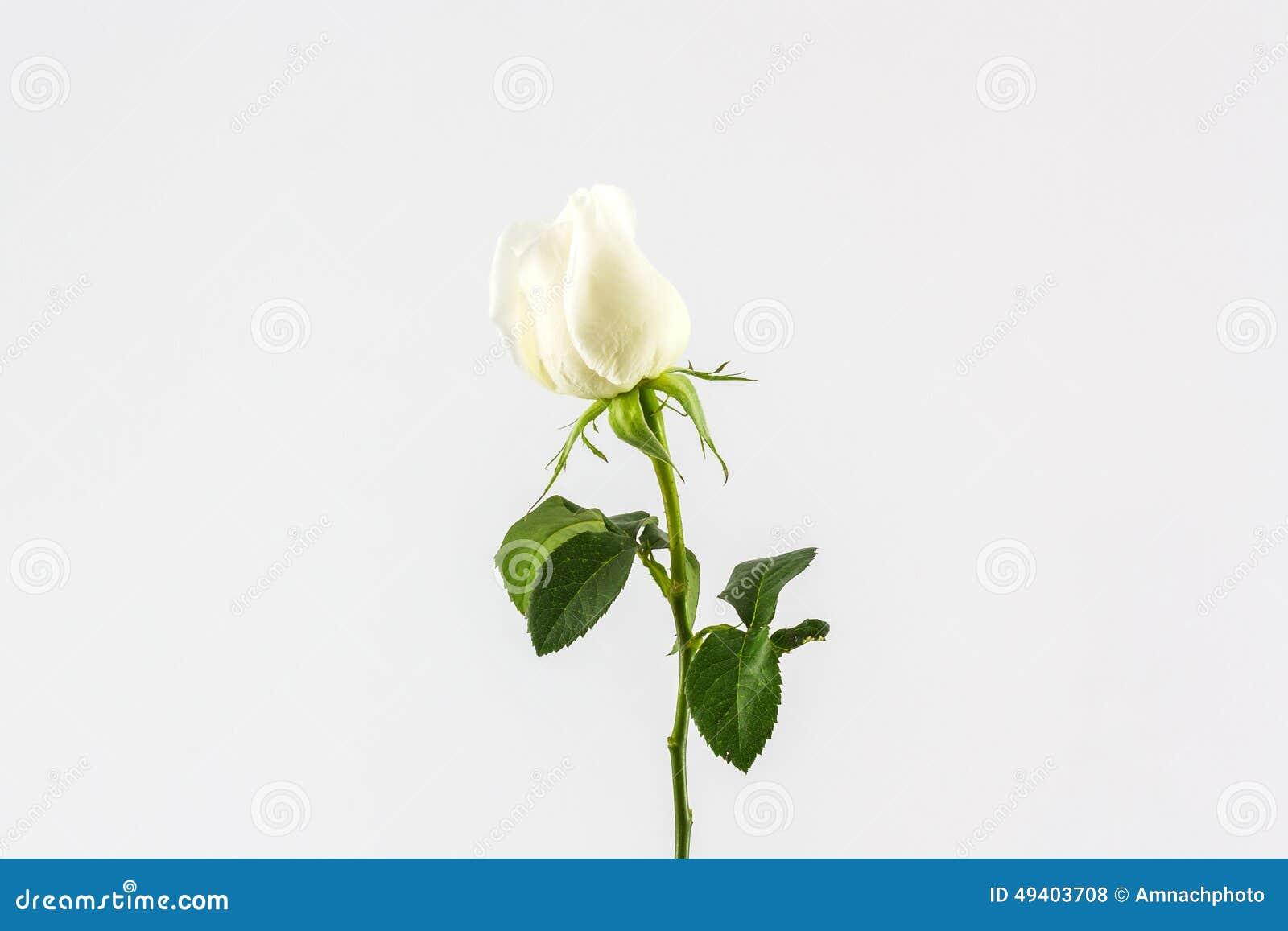 Download Weiß stieg stockfoto. Bild von geläufig, blume, botanisch - 49403708
