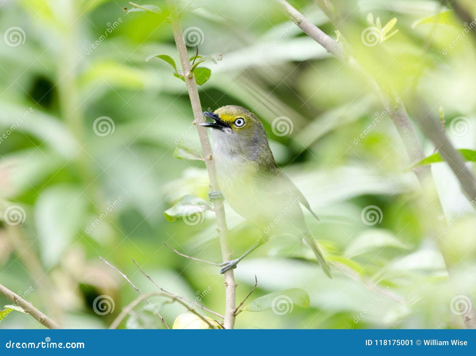 Weißaugenvireosingvogel, der in Bradford Pear Tree, Georgia USA singt