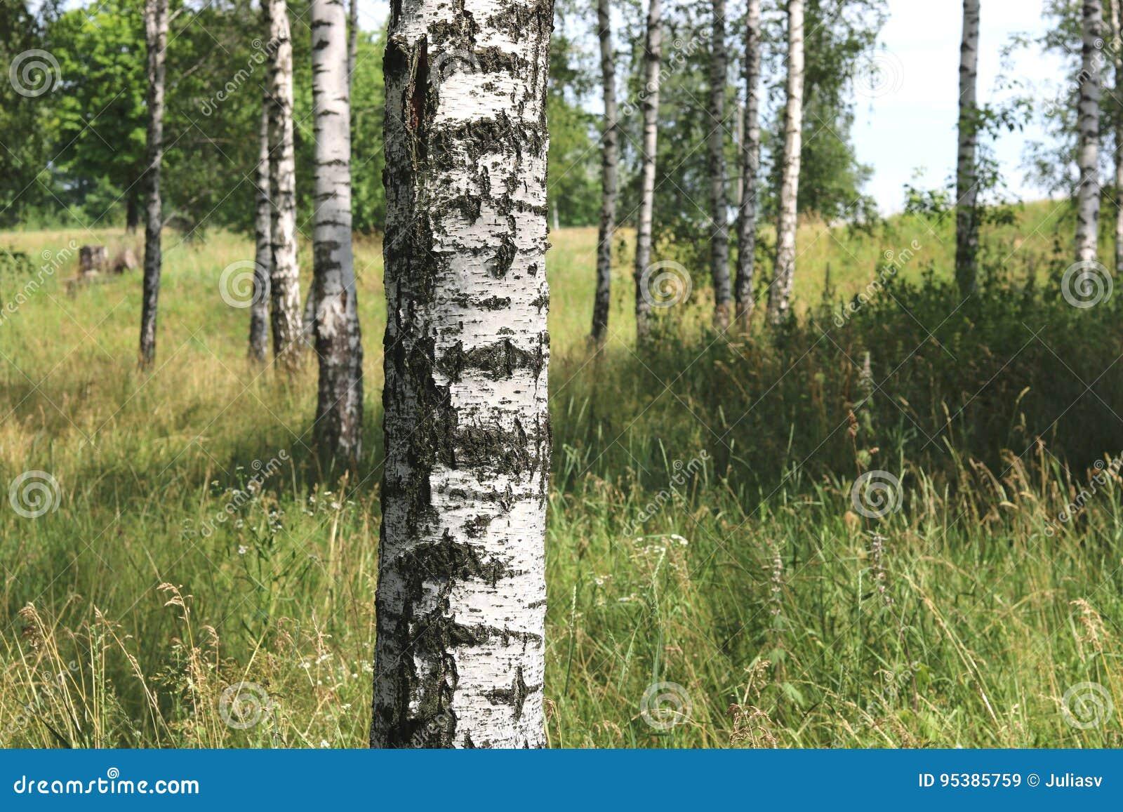 Weiße Birken im Sommer in der Birkenwaldung