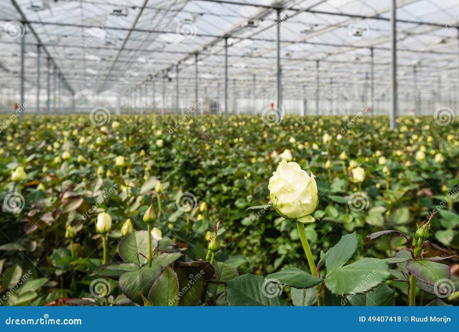 Download Weiße Blühende Rose, Die In Einem Gewächshaus Wächst Stockfoto - Bild von floral, sahnig: 49407418