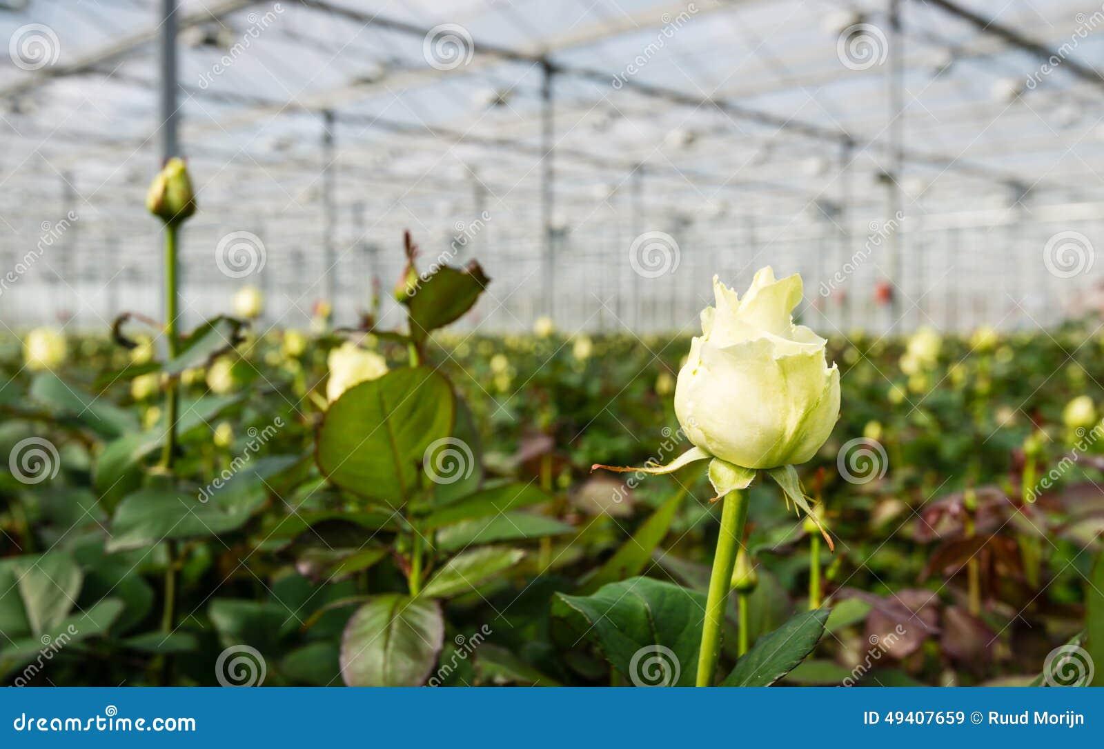 Download Weiße Blühende Rose, Die In Einem Gewächshaus Wächst Stockbild - Bild von sahnig, kopf: 49407659