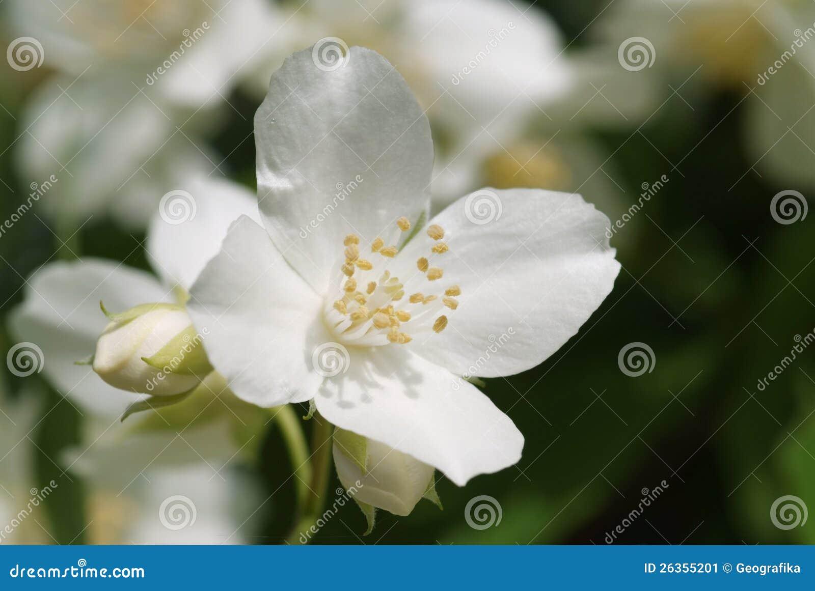 Weiße Blüte der süßen Scheinorange