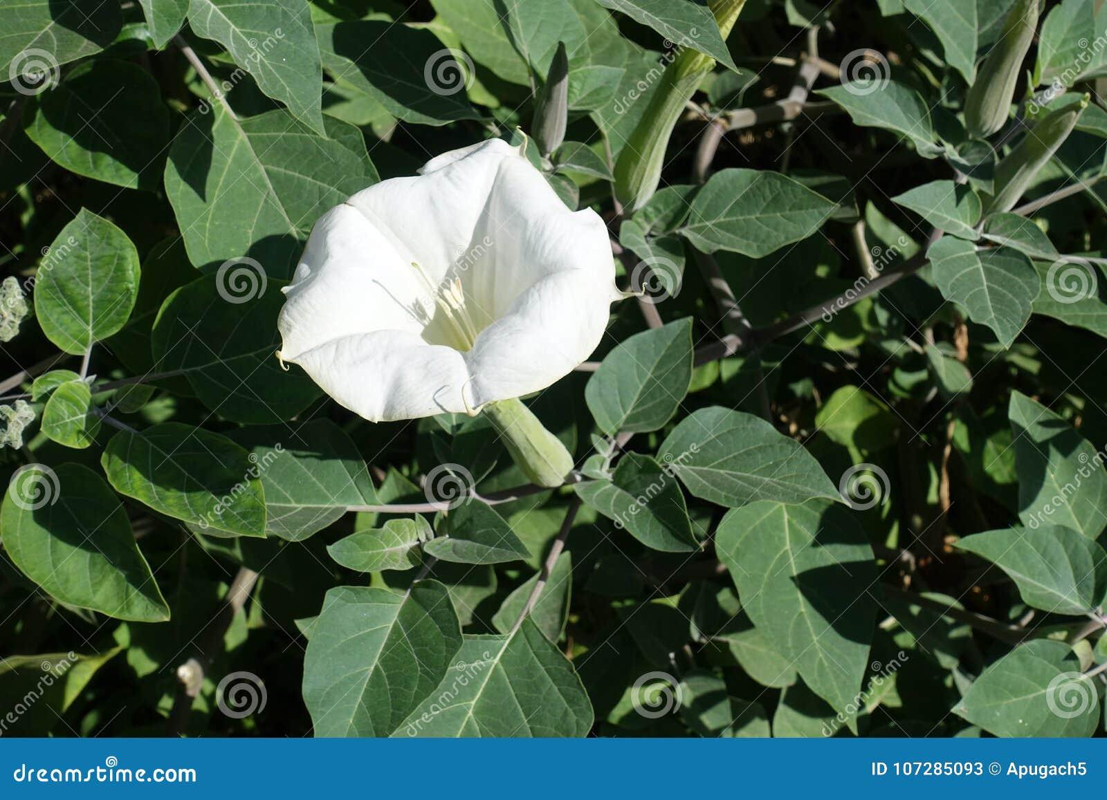 Weiße Blume des heiligen Stechapfels im Garten