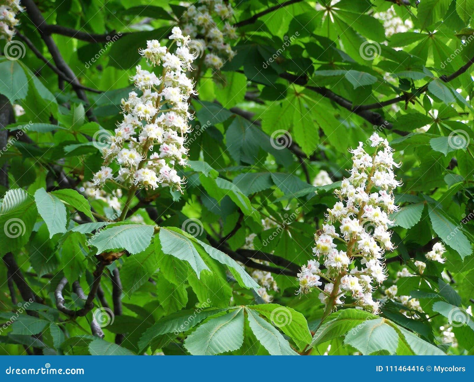 Weiße Blumen auf Kastanienbaum