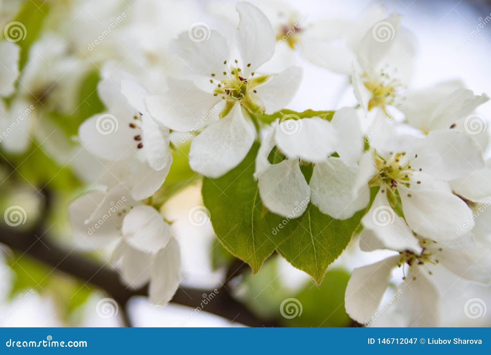 Weiße Blumen der Apfelbaumnahaufnahme auf einem unscharfen Hintergrund
