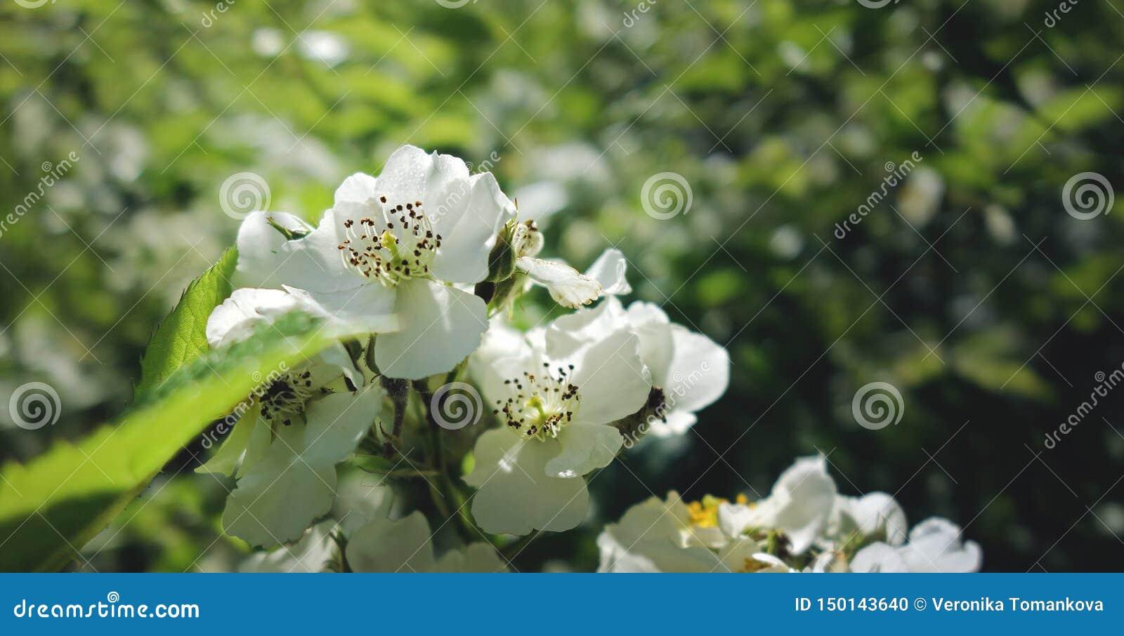 Weiße Blumen, die im Juni blühen