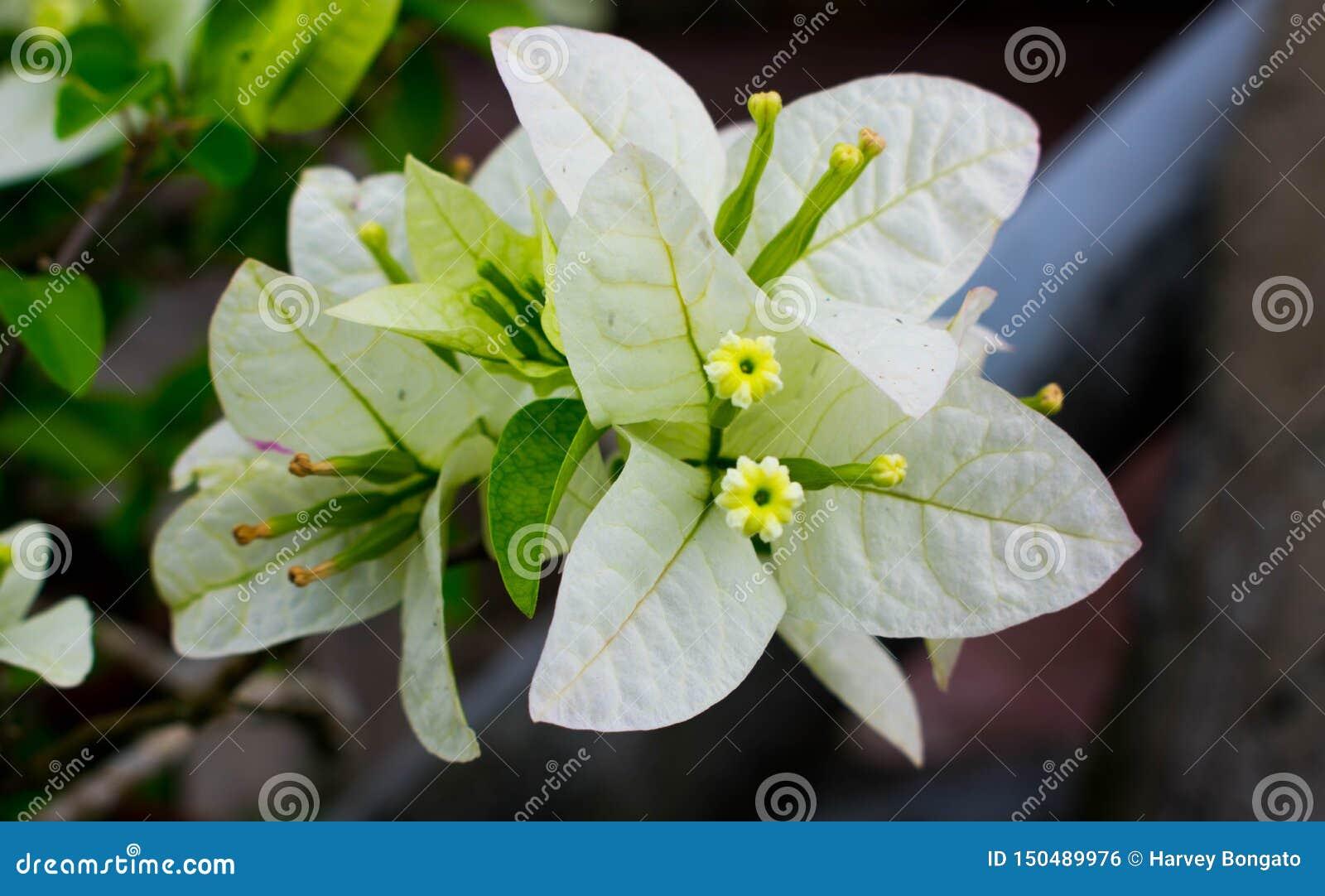 Weiße Bouganvilla-Blume, dornige dekorative Reben mit Blume ähnlichen Federblättern