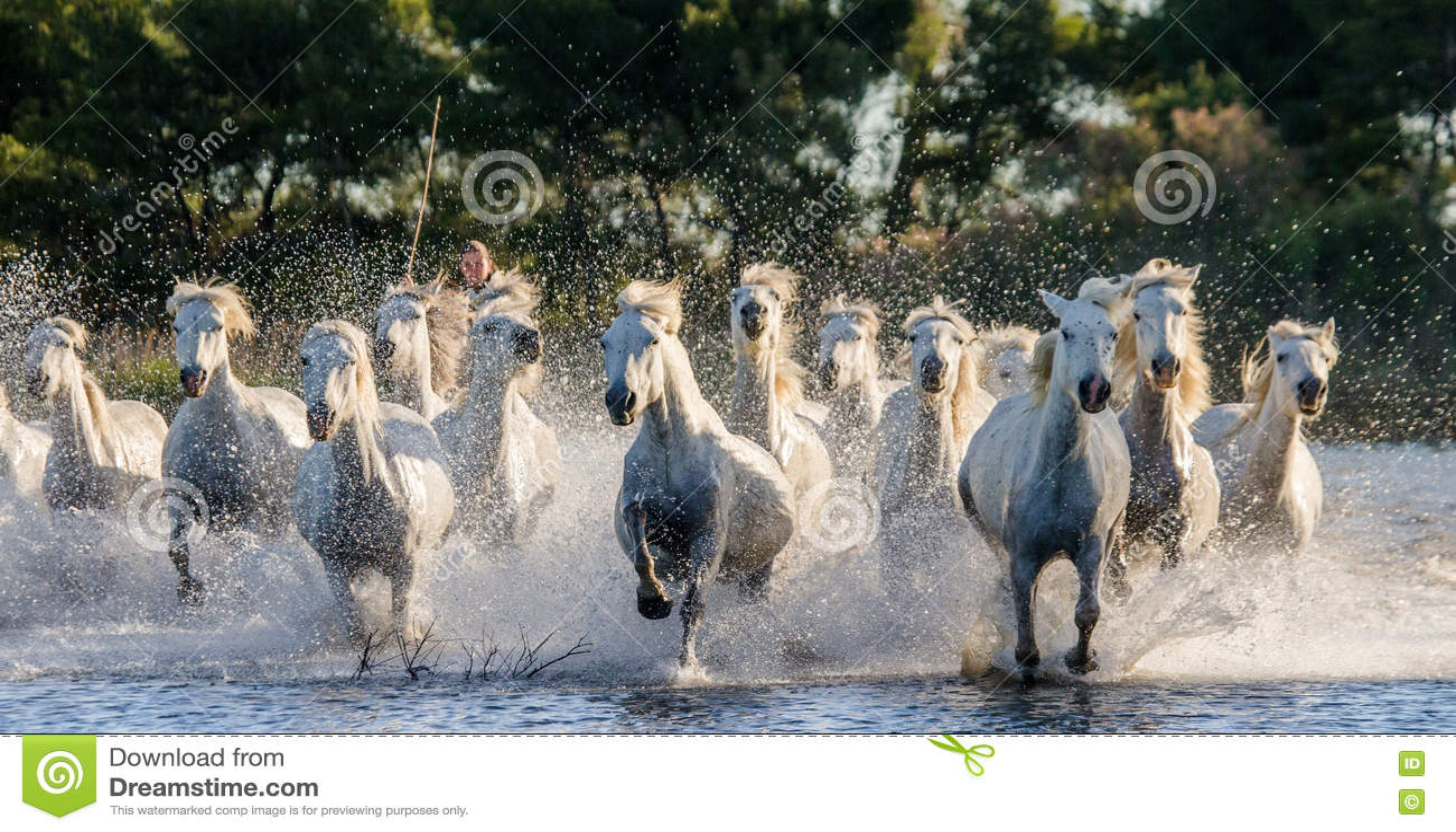 Weiße Camargue-Pferde laufen in das SumpfNaturreservat Parc Regional de Camargue frankreich Provence