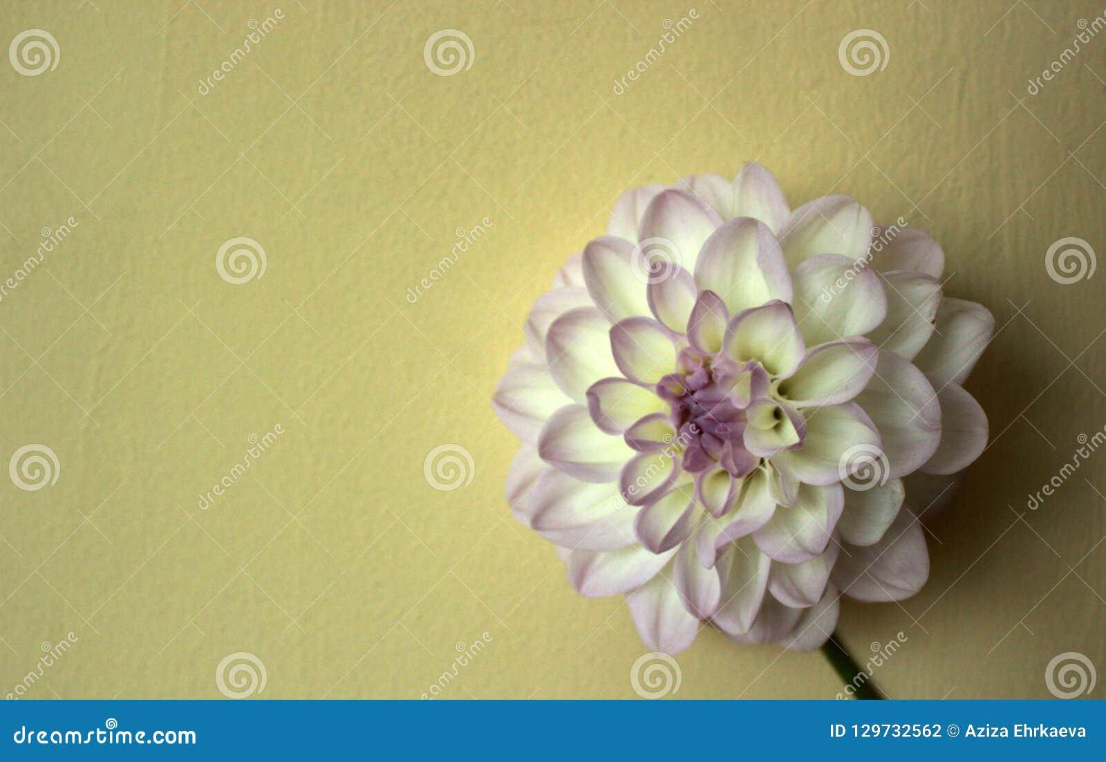 Weiße Chrysanthemenblume, -symmetrie und -goldener Schnitt