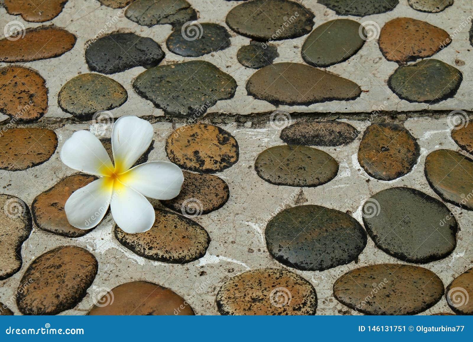 Wei?e Frangipaniblume auf nass Steinfu?weg zum Badekurort