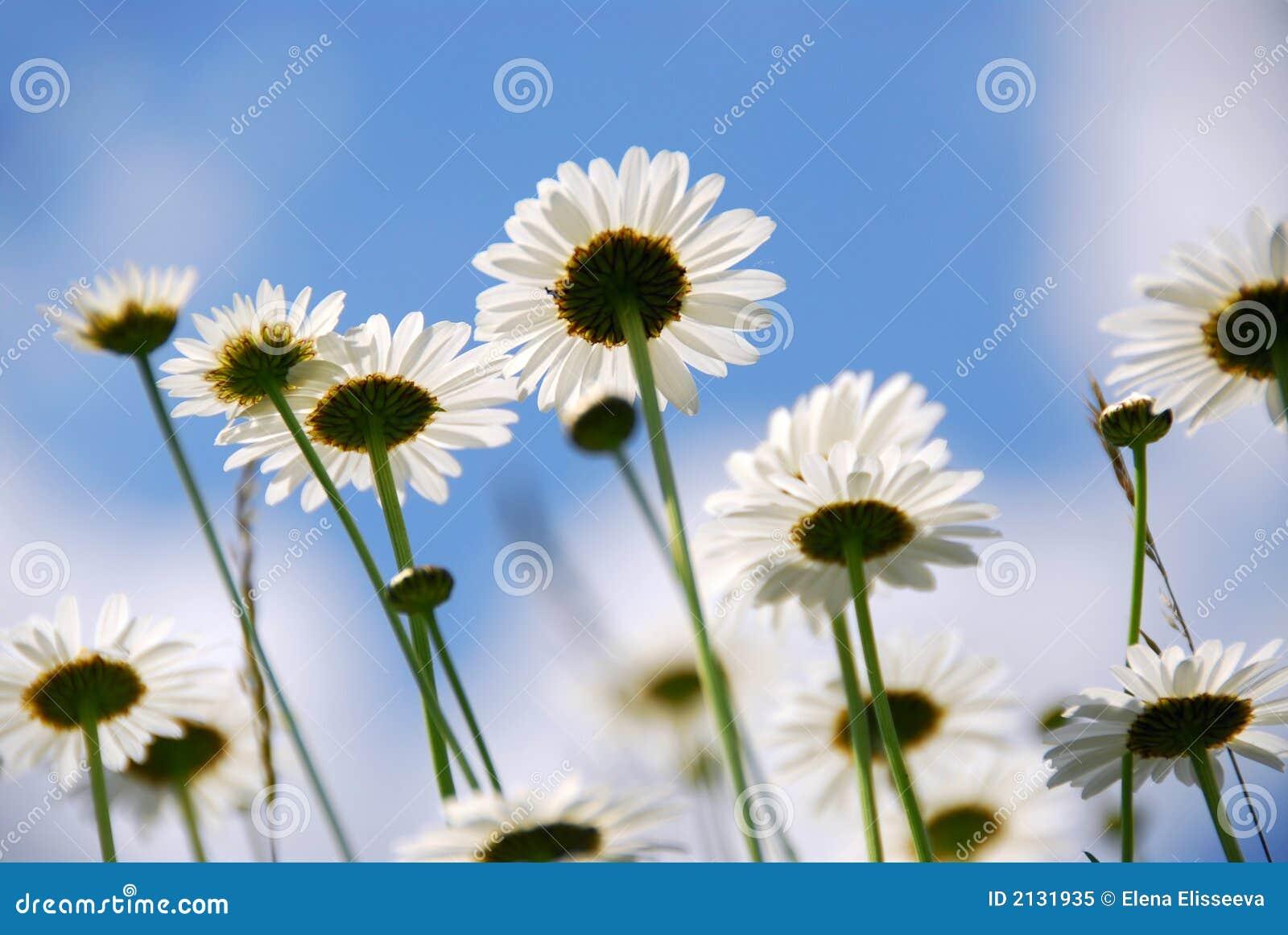 Weiße Gänseblümchen