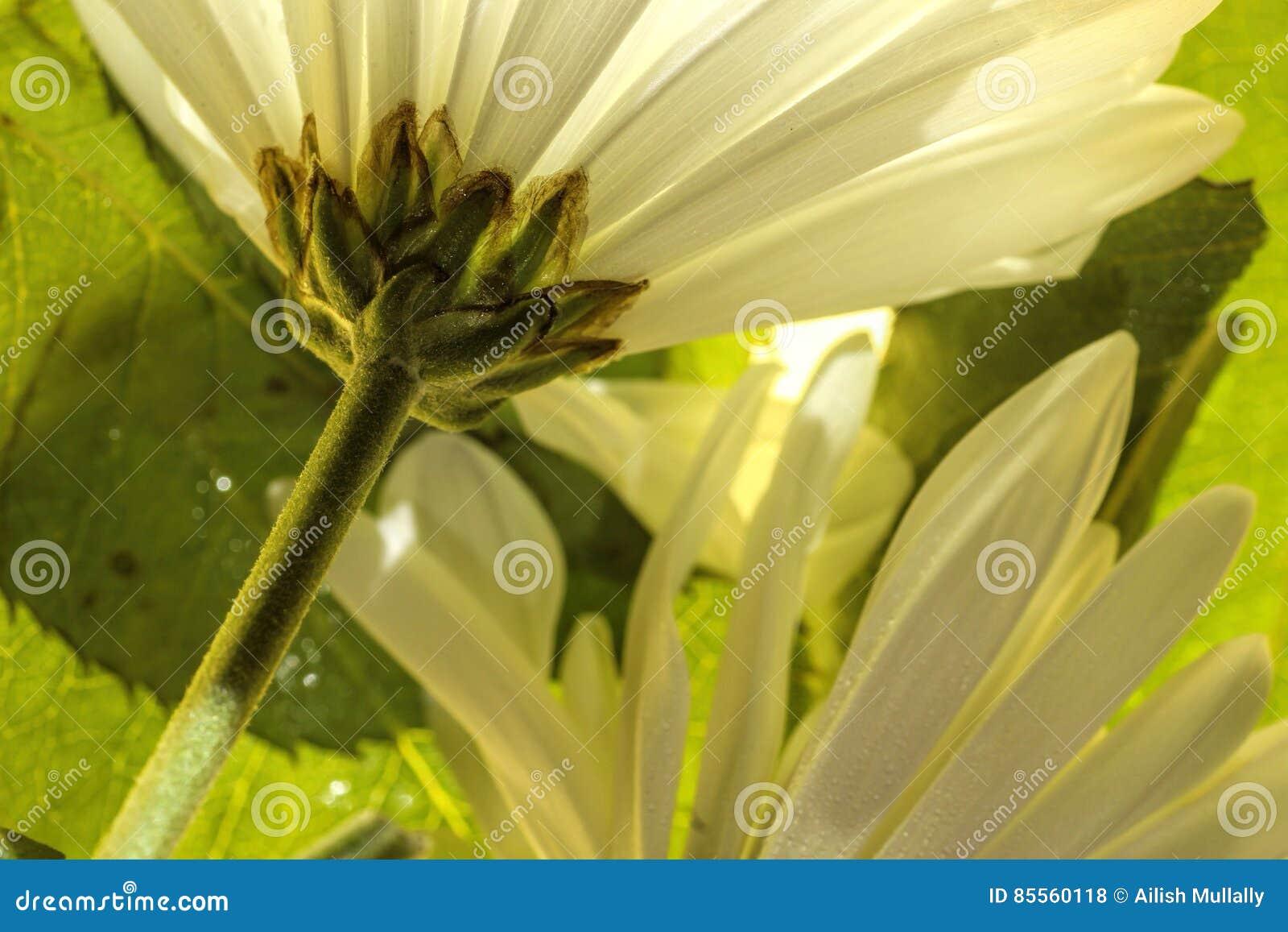 Weiße Gänseblümchen schließen herauf a unter den Blättern