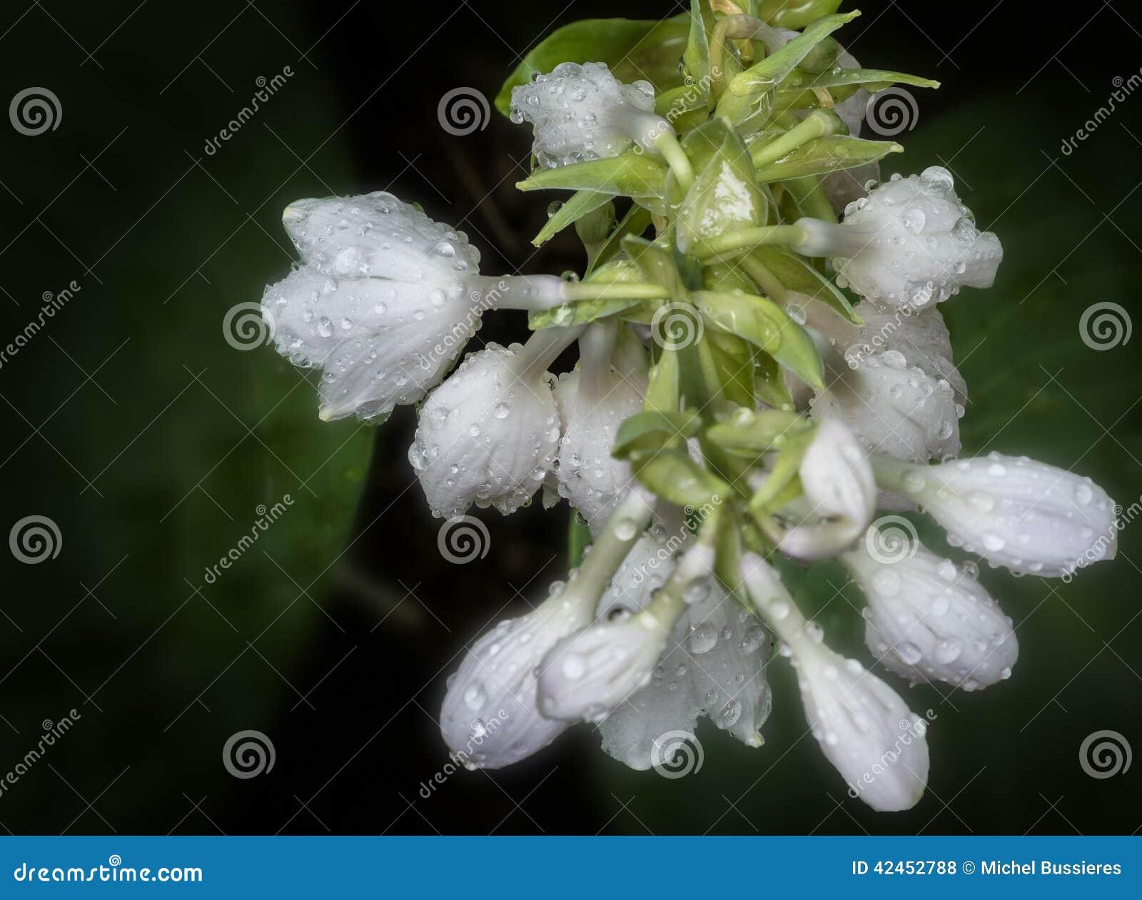 Weiße Hosta-Blumen
