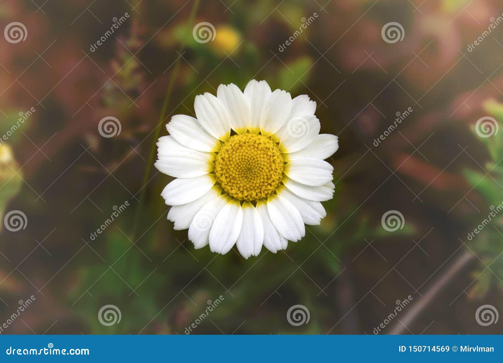 Weiße Kamille - Gänseblümchen auf unscharfem Hintergrund