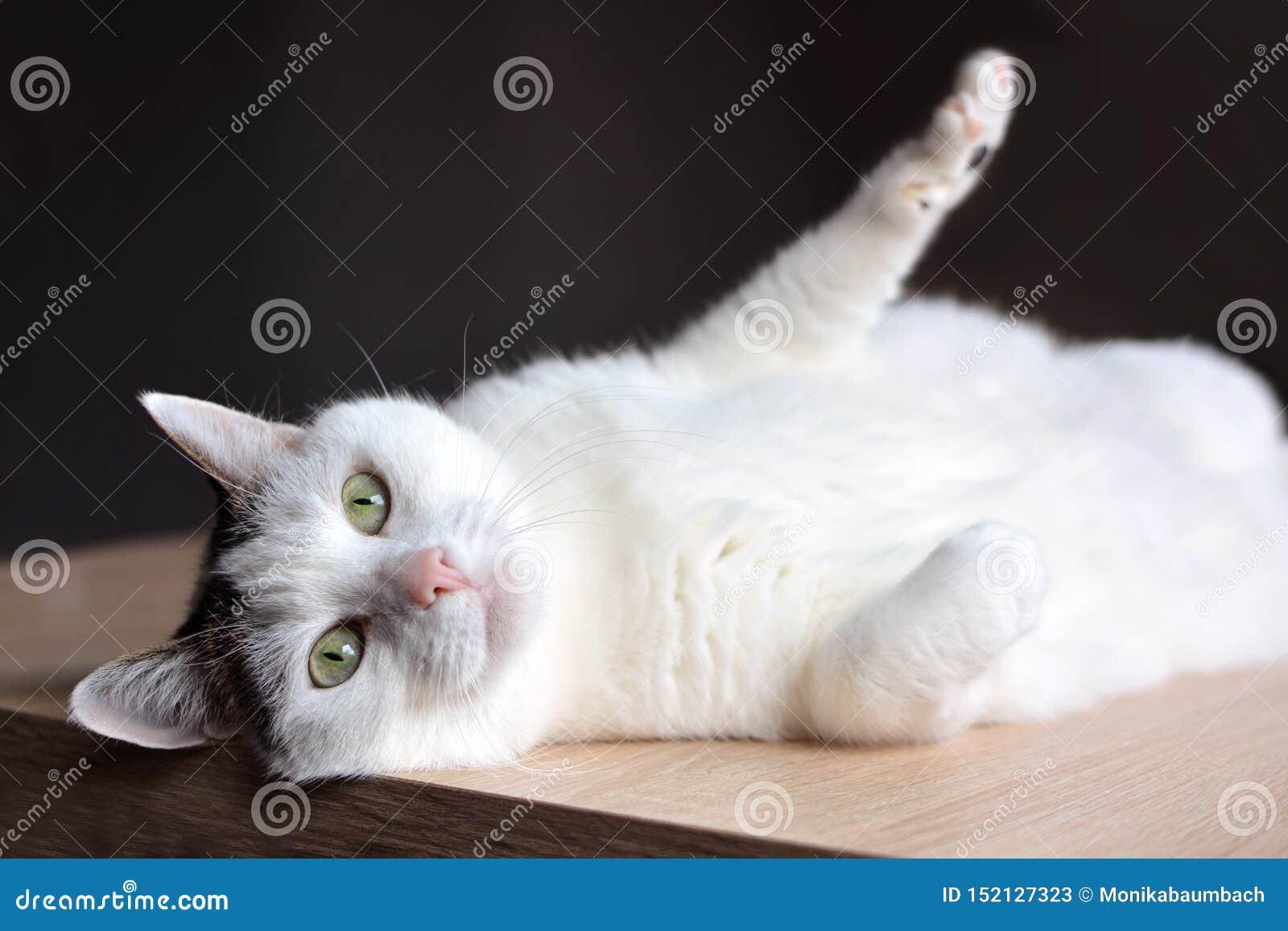 Weiße Katze der getigerten Katze mit grünen Augen und rosa der Nase, die auf Bretterboden auf dunklem Hintergrund liegt