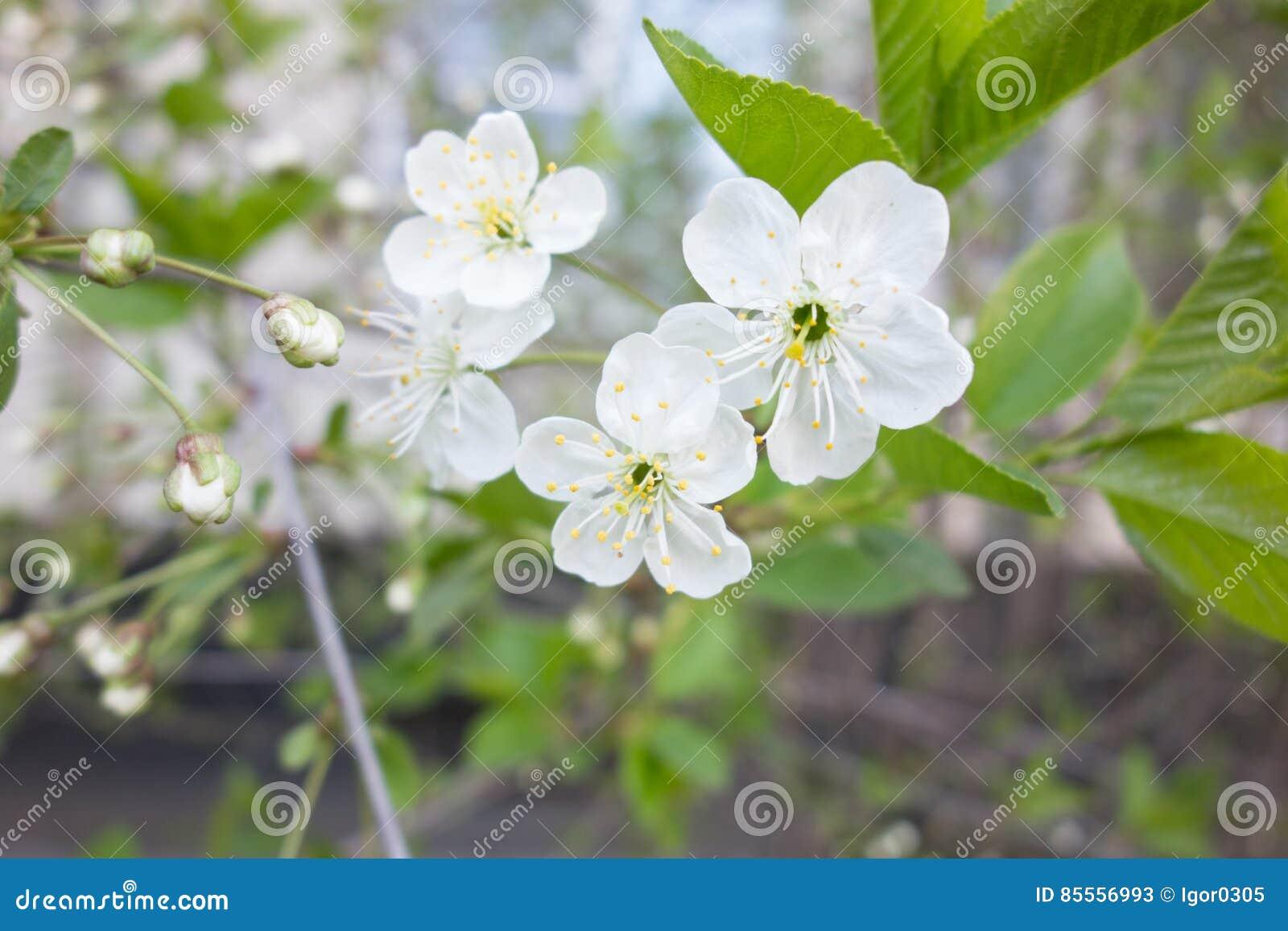 Weiße Kirschbaumblume im Frühjahr