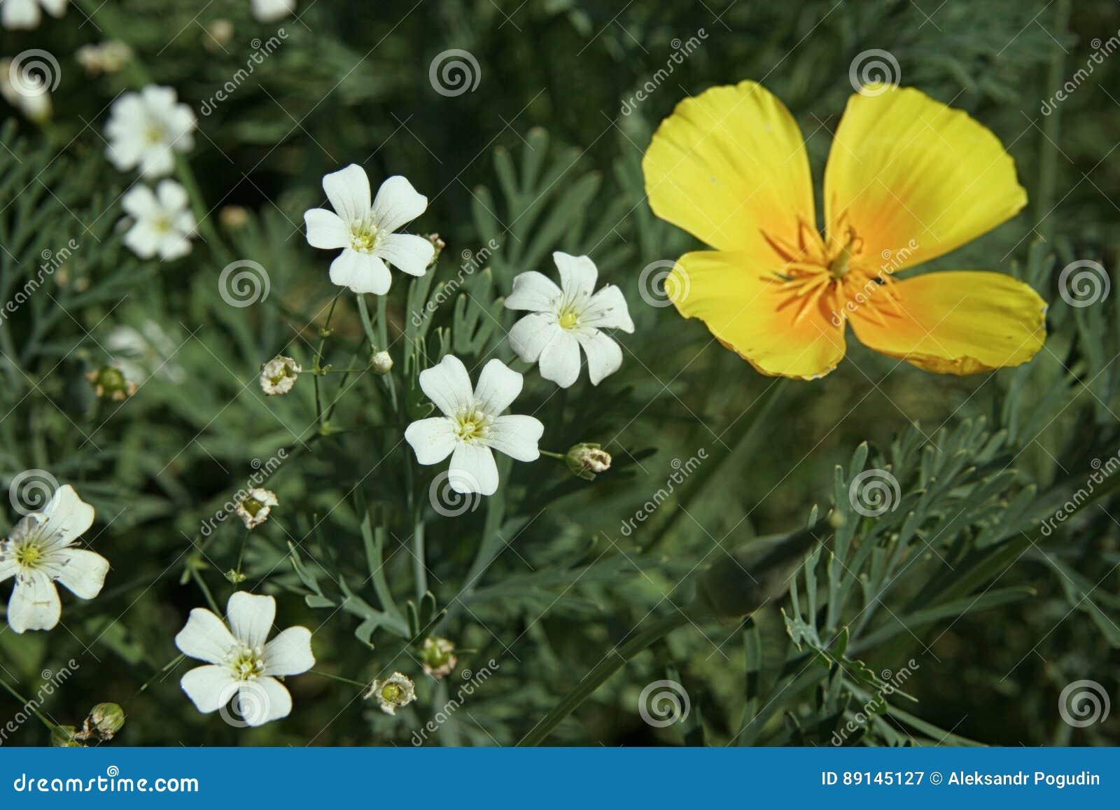 Weiße Kleine Blumen Und Eine Gelbe Blume Im Blumenbeetabschluß Oben ...