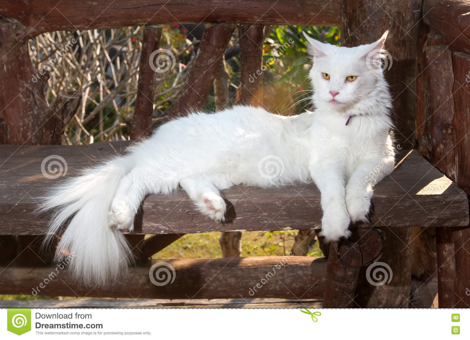 Weiße Maine Coon Cat Auf Der Bank Stockfoto Bild Von Gras Blume