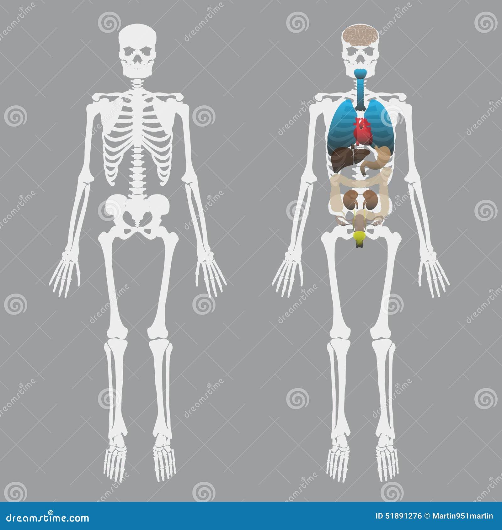 Wunderbar Bild Der Menschlichen Organen Bilder - Physiologie Von ...