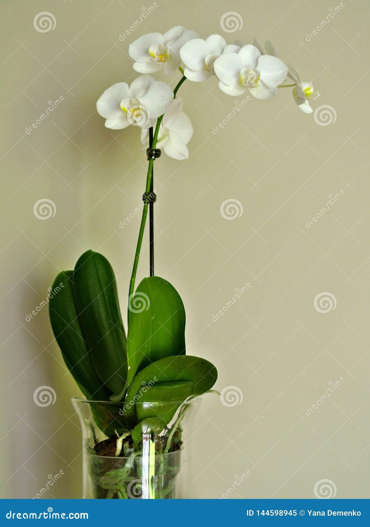 Weiße Orchidee im transparenten Glasvase