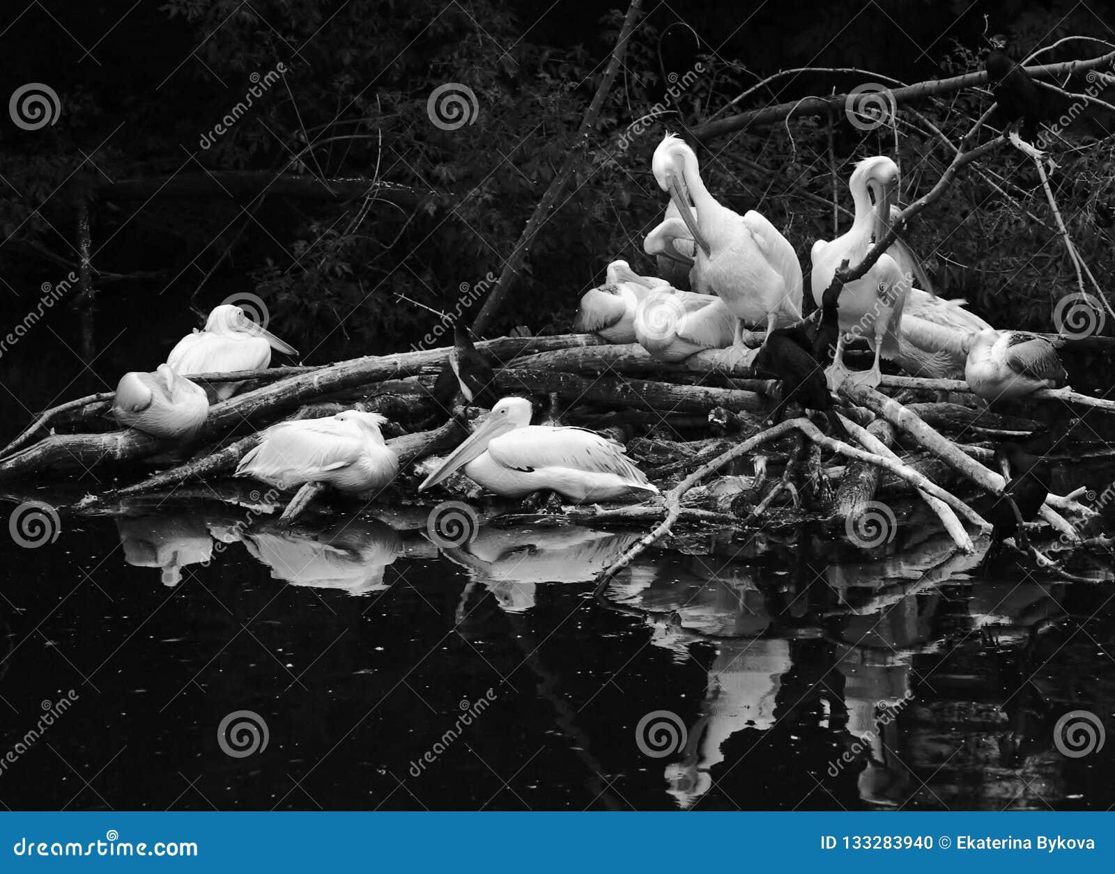 Weiße Pelikane durch Wasser Schwarzweiss-Foto Pekings, China