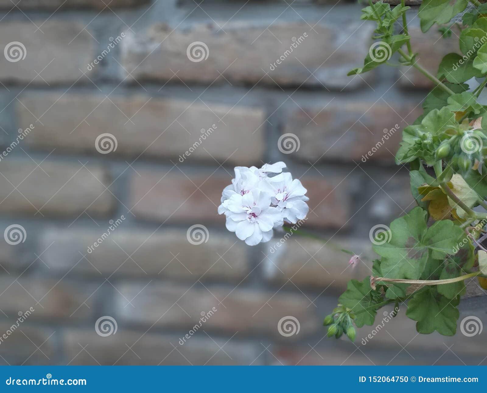 Weiße Petunie, Blume