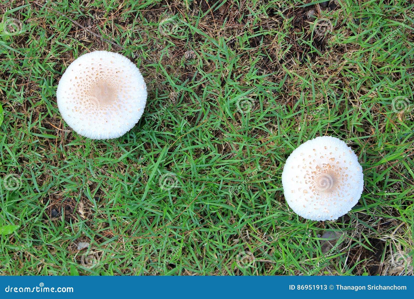 Weiße Pilze Auf Dem Rasen Stockbild Bild Von Schutzkappe 86951913