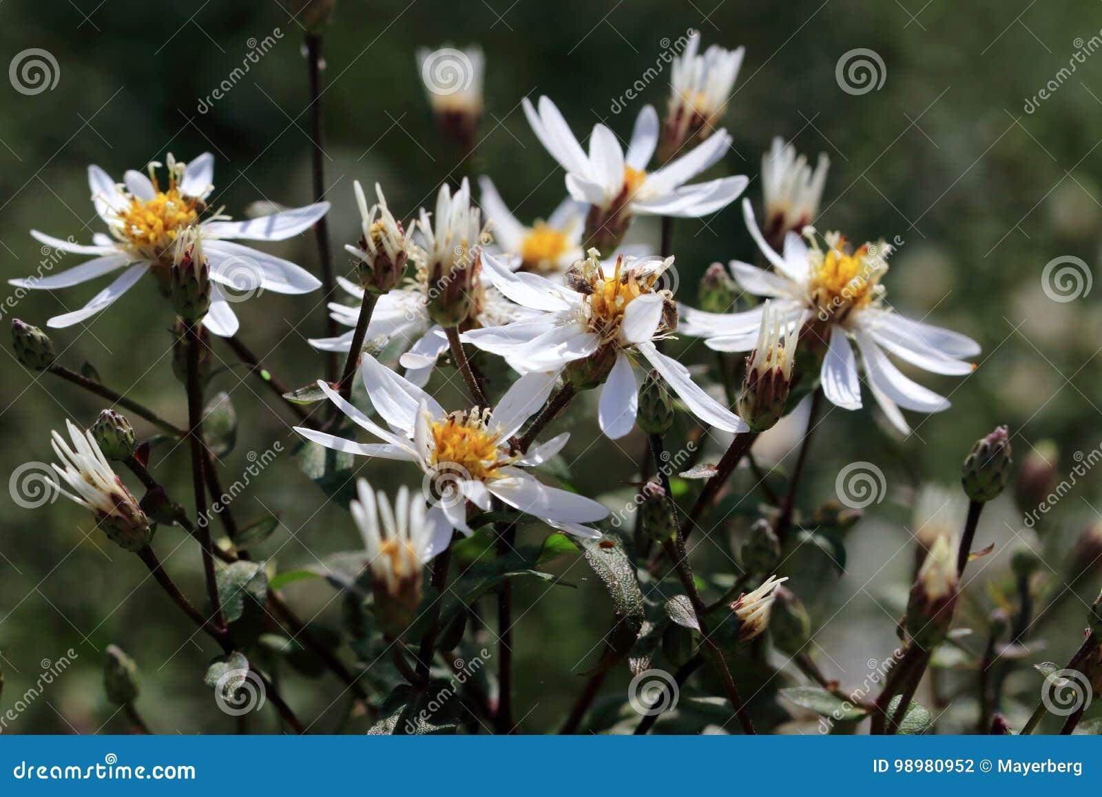 Weiße Sternförmige Blumen Von Aster Divaricatus Stockfoto Bild Von